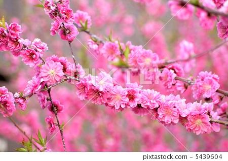 花朵 开花 正在开花的桃树