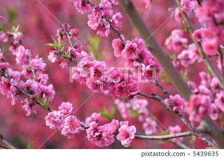 花朵 花 正在开花的桃树