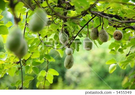 水果 攀援植物 五叶木通