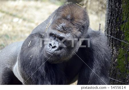 图库照片: 大猩猩 动物 日光