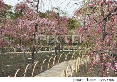 树枝低垂的李树 开花 植物的