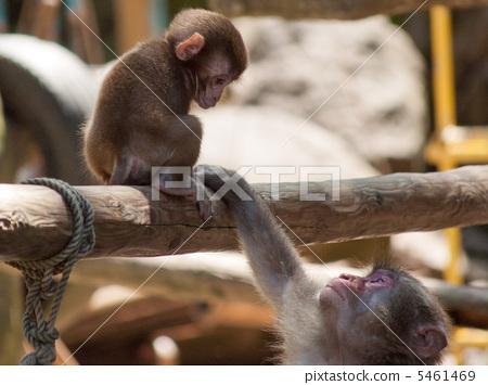 日本猕猴 父母和小孩 哺乳动物