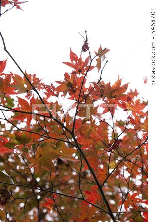 秋天颜色 枫树 红叶