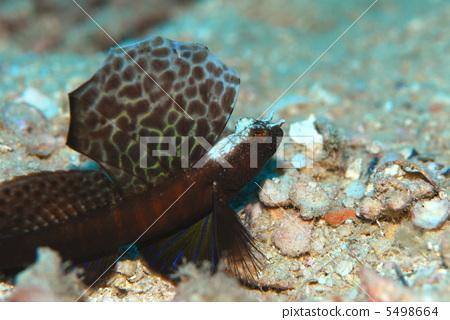 图库照片: 虾虎鱼 山漆 海底世界