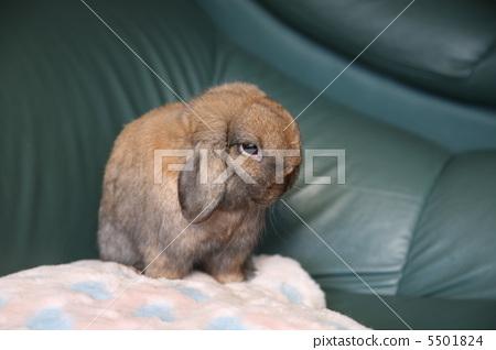 荷兰垂耳兔 兔子 动物宝宝-图库照片