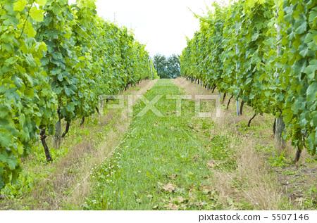 葡萄树 种植园 农场