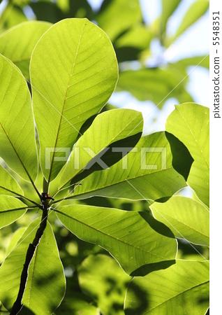 图库照片: 日本大叶木兰 落叶树 绿色图片