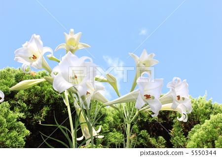 照片素材(图片): 白百合 花朵 花