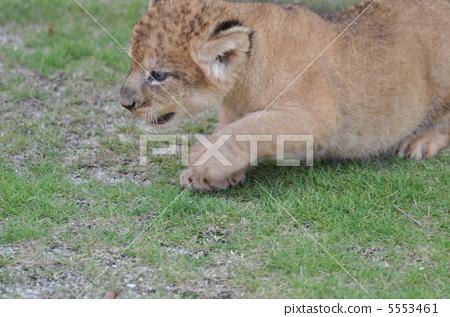 图库照片: 狮子 百兽之王 动物园