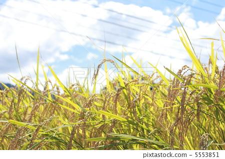 风景_自然 田地_稻田 稻田 照片 丰收 收获 稻田 首页 照片 风景_自然