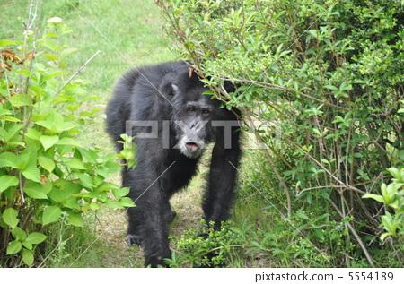 图库照片: 动物 大猩猩 猴园