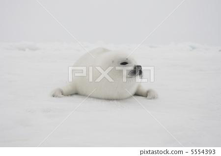 竖琴海豹 密封 野生动物