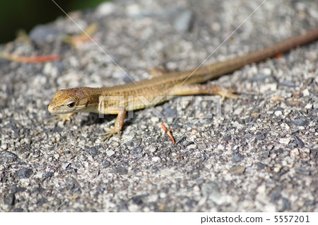 图库照片: 蜥蜴 爬行动物 爬虫类的