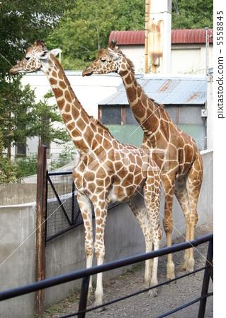 图库照片: 网纹长颈鹿 长颈鹿 旭山动物园
