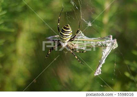 云彩 织网蜘蛛 横纹金蛛