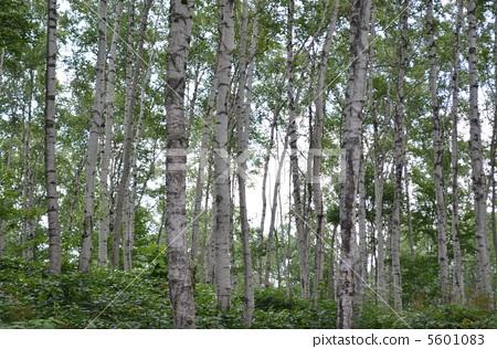 森林 银桦树 日本白桦