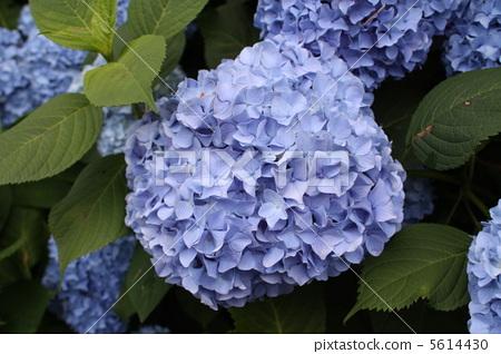 植物_花 绣球花 绣球花 六月 6月  绣球花 六月 6月 *pixta限定素材仅