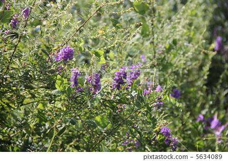 花朵 阿尔泰野豌豆 花