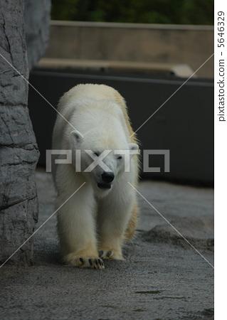 北极熊 熊 可爱-图库照片 [5646329] - pixta
