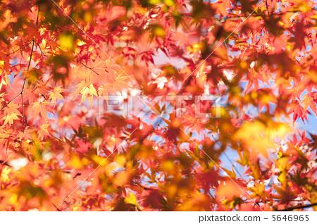 秋天颜色 枫叶 红枫