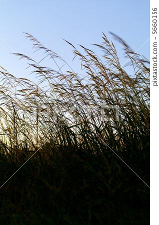 照片素材(图片): 斑叶芒 日本蒲苇 芒草