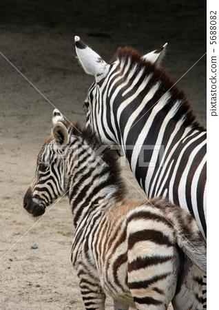 父母和小孩 斑马 哺乳动物