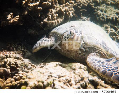 爬行动物 爬虫类的 海龟