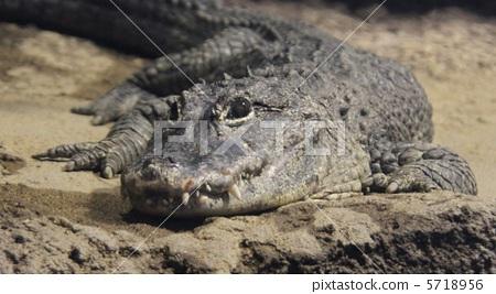 图库照片: 鳄鱼 札幌圆山动物园 凶狠