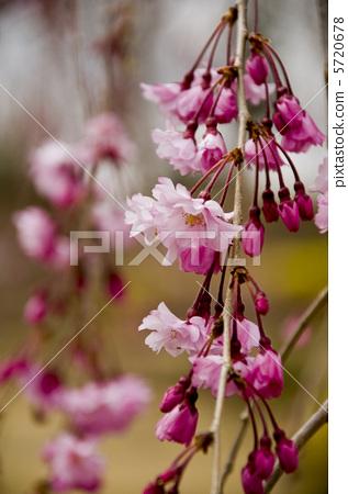 照片素材(图片): 枝条下垂的樱花树 垂枝樱花 垂樱