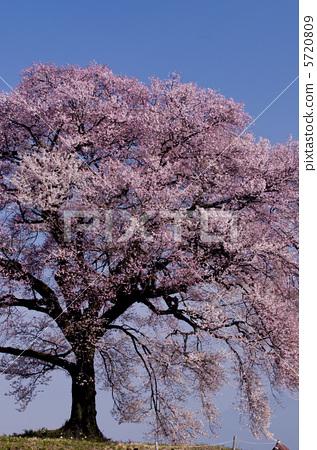 照片素材(图片): 鳄鱼樱花 江户彼岸樱树 盛开