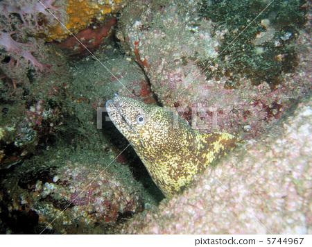 图库照片: 海鳝 咸水鱼 海水鱼