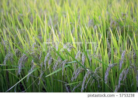 照片 姿势_表情_动作 行为_动作 看 丰收 收获 水稻  *pixta限定素材