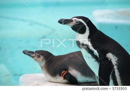 壁纸 动物 企鹅 450_317