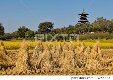 秋 首页 照片 风景_自然 季节 秋 水稻丰收 秋天 秋  *pixta限定素材