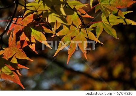 首页 照片 植物_花 树_树木 枫树 树叶 枫树 枫叶  *pixta限定素材仅