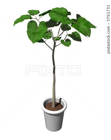 盆栽 台湾菝葜 室内盆栽 观叶植物  *pixta限定素材仅在pixta网站,或
