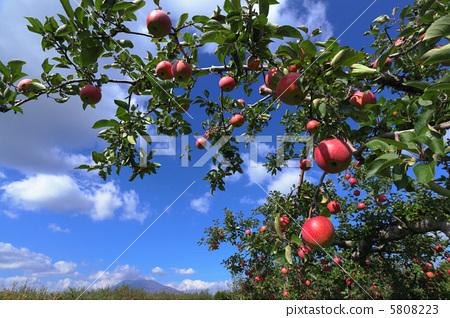 苹果 苹果树上 风景