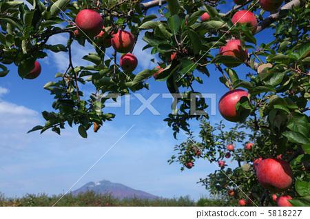 苹果 富士山 苹果树上