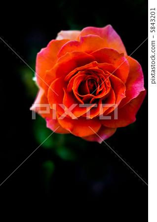 深宫风云之玫瑰_玫瑰 红色 深红色