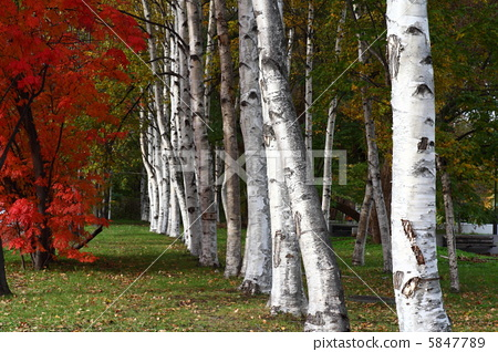 银桦树 秋景 落叶阔叶树
