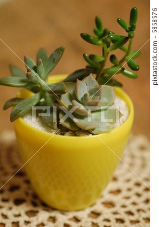 肉质植物 室内盆栽 灌装的