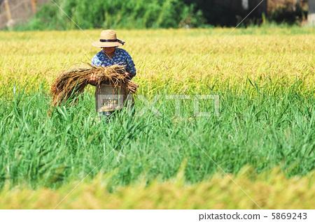 图库照片: 稻田 水稻丰收 农活