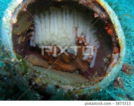 章鱼 软体动物 巢里的卵