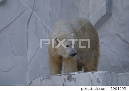图库照片: 北极熊 东山动物园