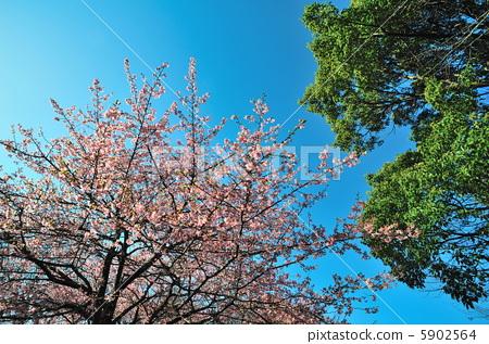 花朵 樱桃树 河津樱