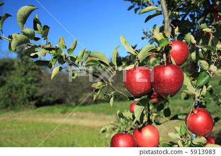 苹果 苹果树上 树叶