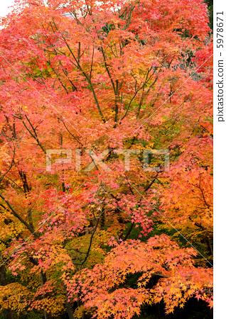 秋天颜色 枫叶 红枫-图库照片 [5978671] - pixta