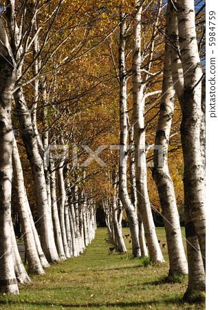 枫树 银桦树 枫叶
