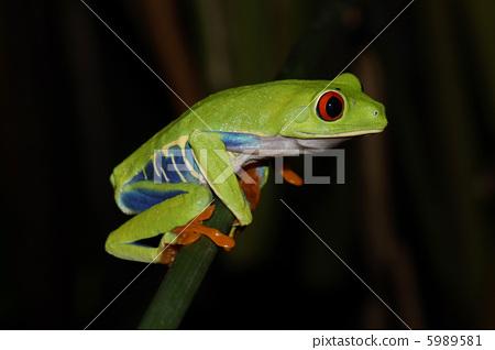 拉丁美洲 首页 照片 爬行动物_昆虫_恐龙 青蛙 青蛙 热带雨林 拉丁