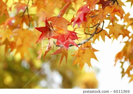 首页 照片 植物_花 树_树木 枫树 枫香 树叶 叶子  *pixta限定素材仅